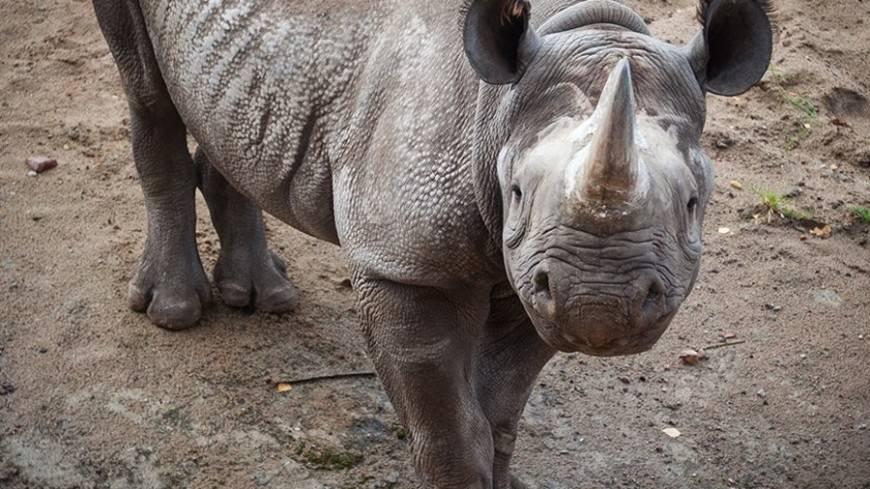 Как спариваются носороги