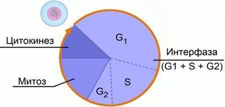 Клеточный цикл это период жизни клетки