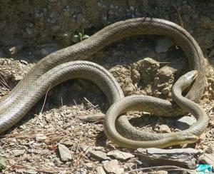 Как спариваются змеи фото