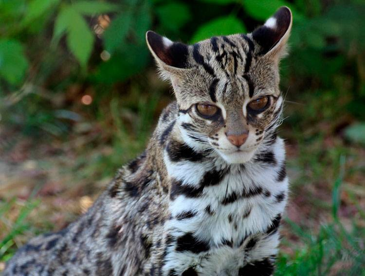 Леопардовый кот фото