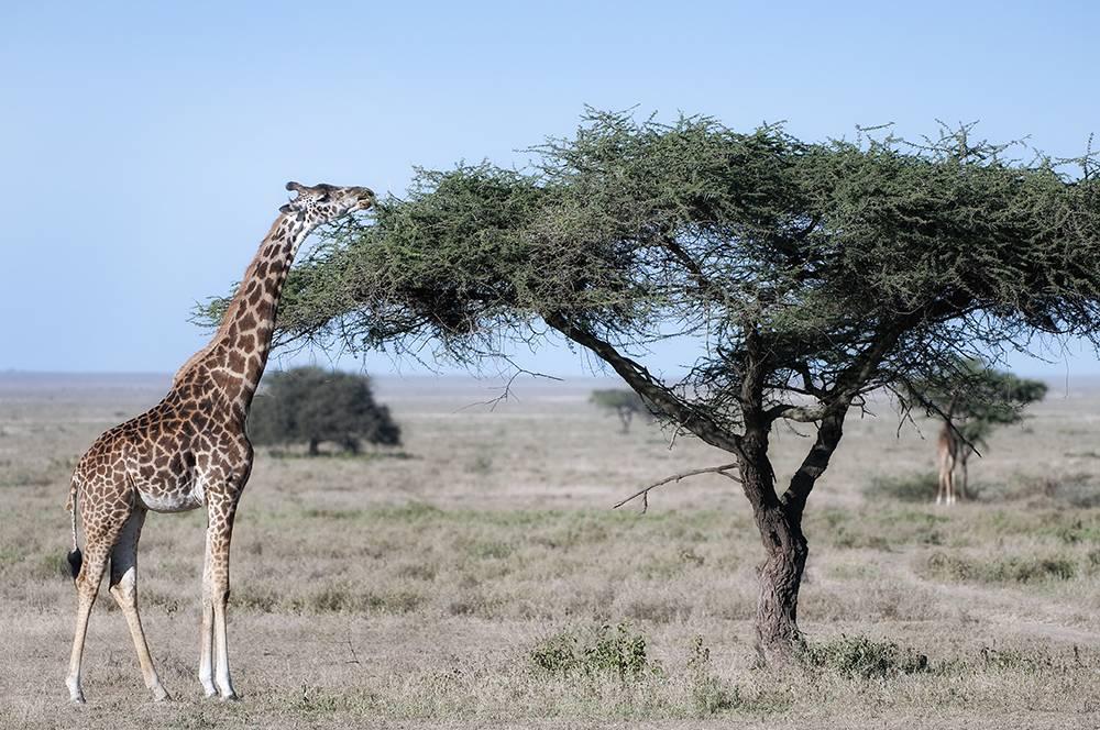 На каком материке живет жираф