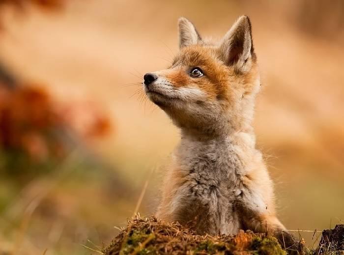 Кто питается лисами