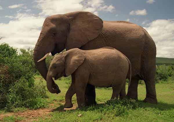 Слон хищник или травоядное