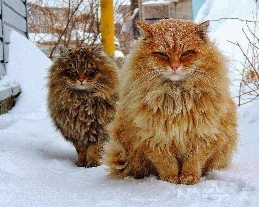 Как называется порода самых больших кошек