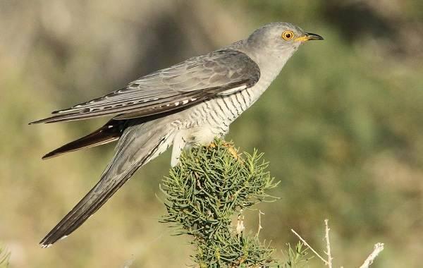 Какие бывают перелетные птицы названия