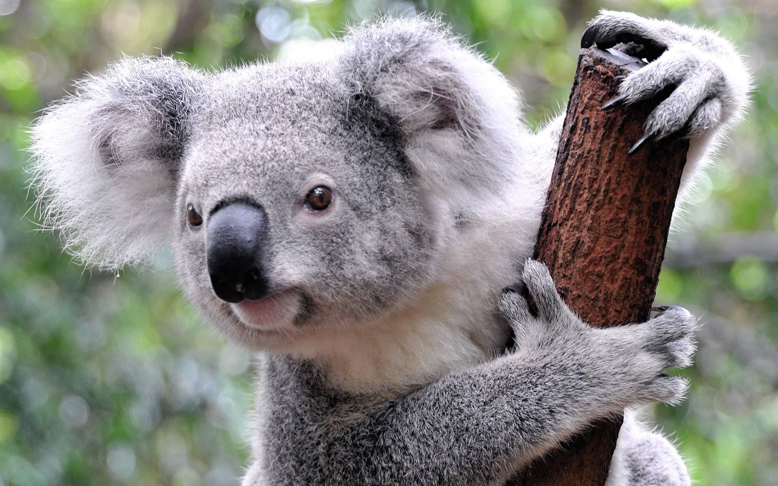 Где живет коала в какой стране
