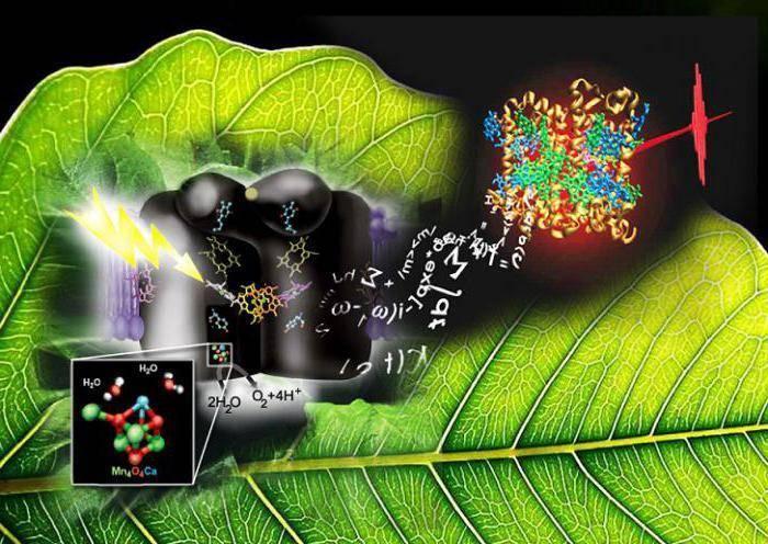 Световая и темновая фаза фотосинтеза кратко