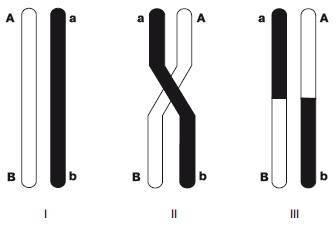 Независимое расхождение гомологичных хромосом в мейозе способствует