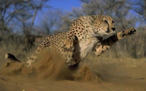 Способ охоты характерный для гепарда 13 букв