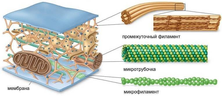 Особенности строения цитоплазмы клетки