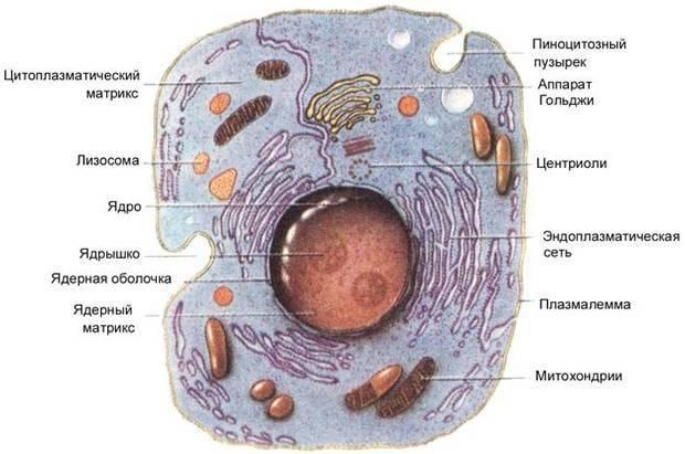 Отличительные признаки растительной и животной клетки таблица