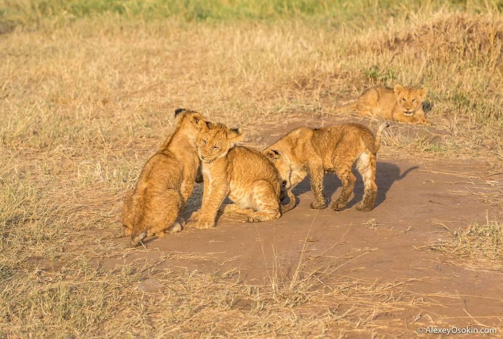 Вес взрослого льва