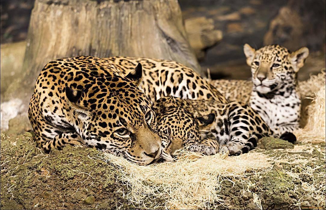 Виды ягуаров