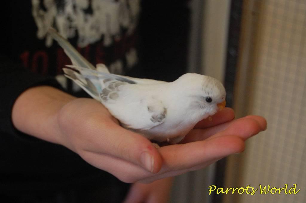 Продолжительность жизни волнистого попугая