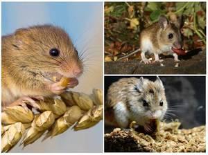 Что едят белые мыши