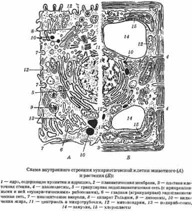 Различие клеток растений и животных