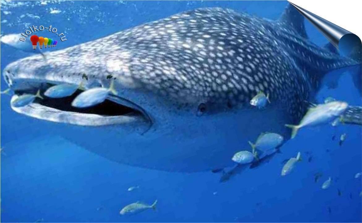 Сколько весит китовая акула