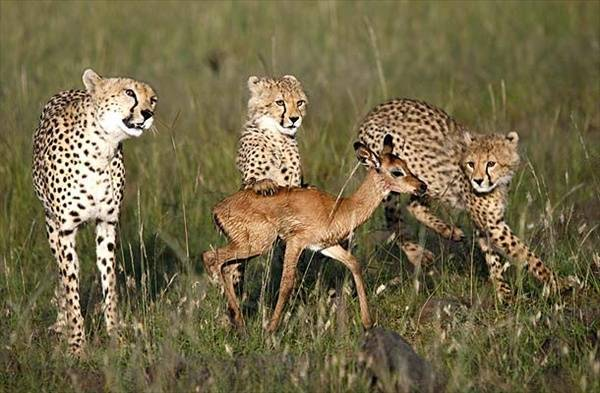Виды гепардов