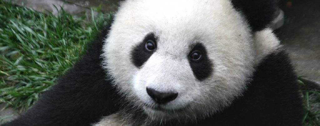 Продолжительность жизни панды