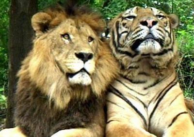 Все про тигров