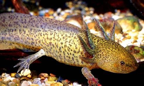 Рыба ящерица фото