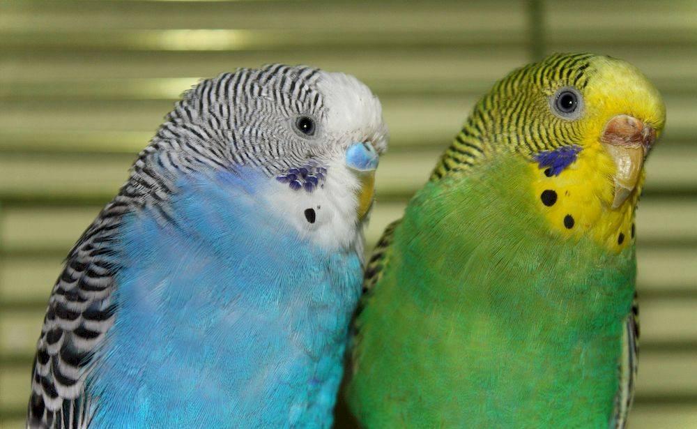 Сколько живут волнистые попугаи дома