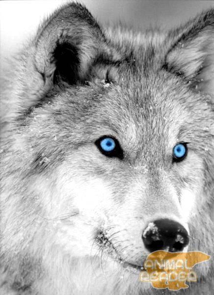 Максимальная скорость волка