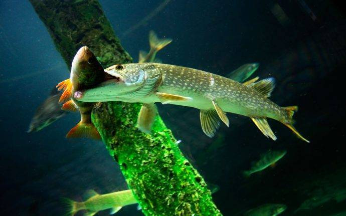 Рыба с большим лбом