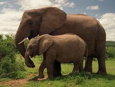 Средняя продолжительность жизни слона