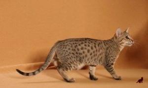 Пятнистый кот порода