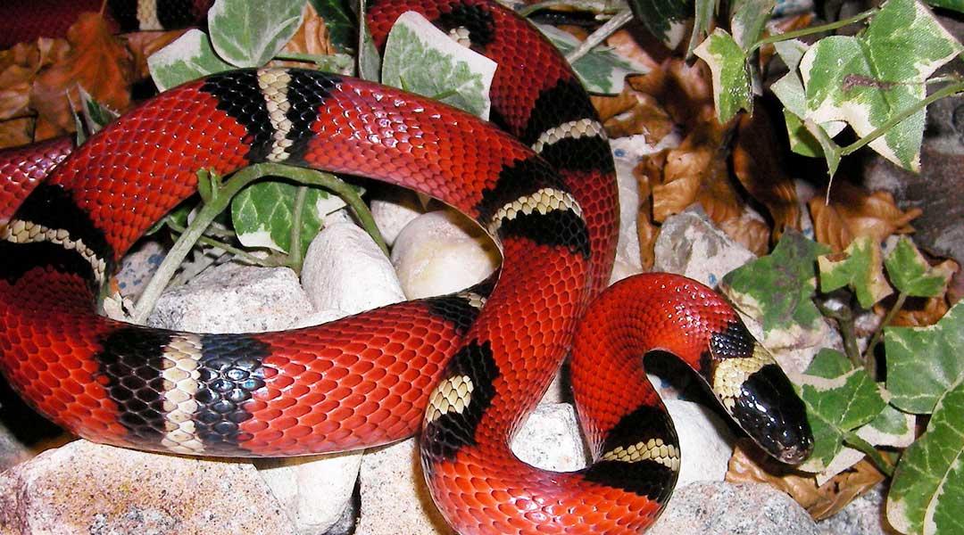 Синалойская молочная змея содержание