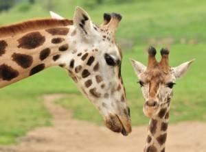Рассказ про жирафа для детей