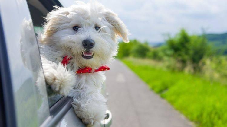 Карликовые собачки фото и порода