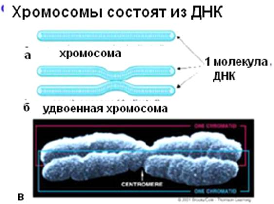 Функции ресничек в клетке