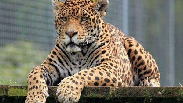 Ягуар кошка фото