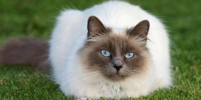 Кот бирманской породы