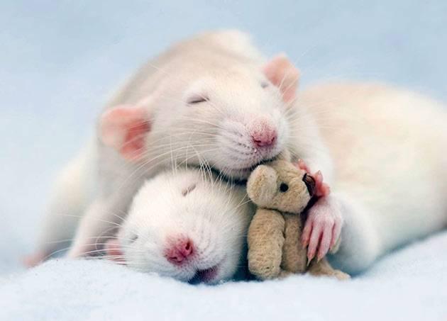 Белая домашняя крыса