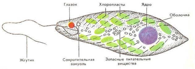 Основные типы одноклеточных животных таблица 7 класс