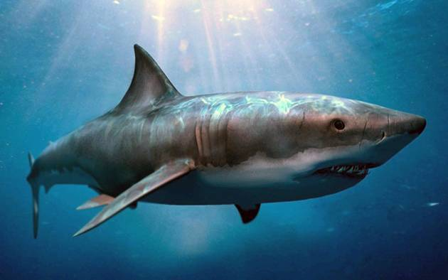 Мегалодон (лат. Carcharodon megalodon)