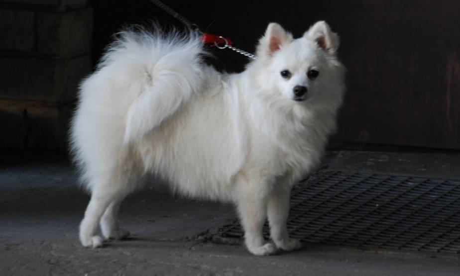 Маленькая кудрявая собачка порода