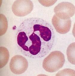 Назовите клетки крови выполняющие функцию фагоцитоза