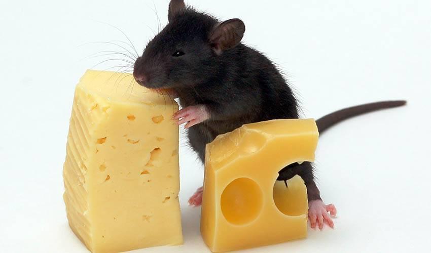 Крыса домашняя уход и содержание кормление