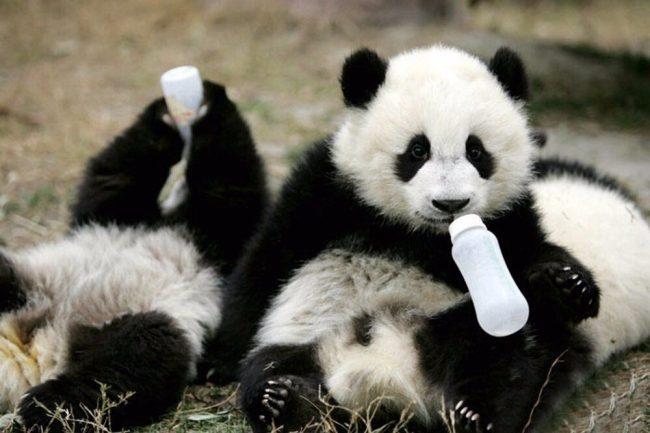 Фото панды в хорошем качестве