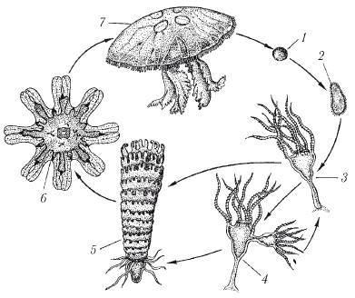 Размножение сцифоидных медуз
