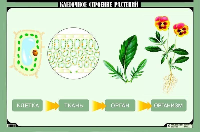 Из чего состоит растительная клетка