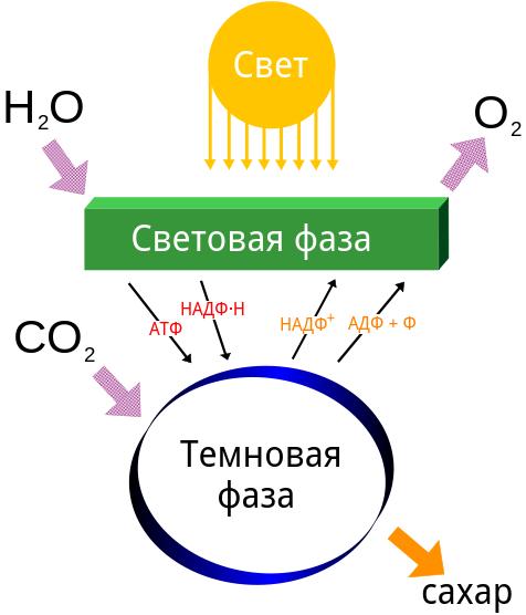 При фотосинтезе используются вещества