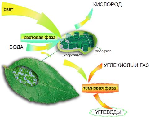 Где протекает фотосинтез у растений