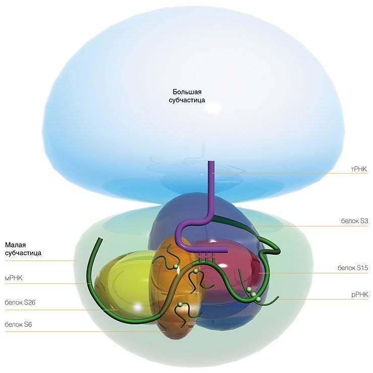 Рибосомы участвуют в синтезе