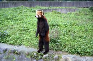 Сколько пальцев у панды