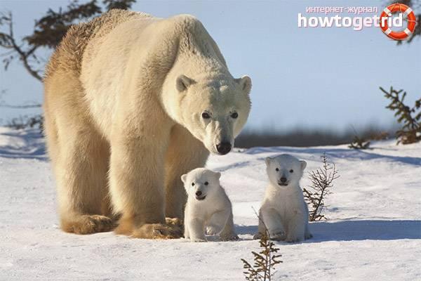 Среда обитания белых медведей